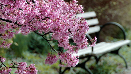 park bench with blooming tree branches